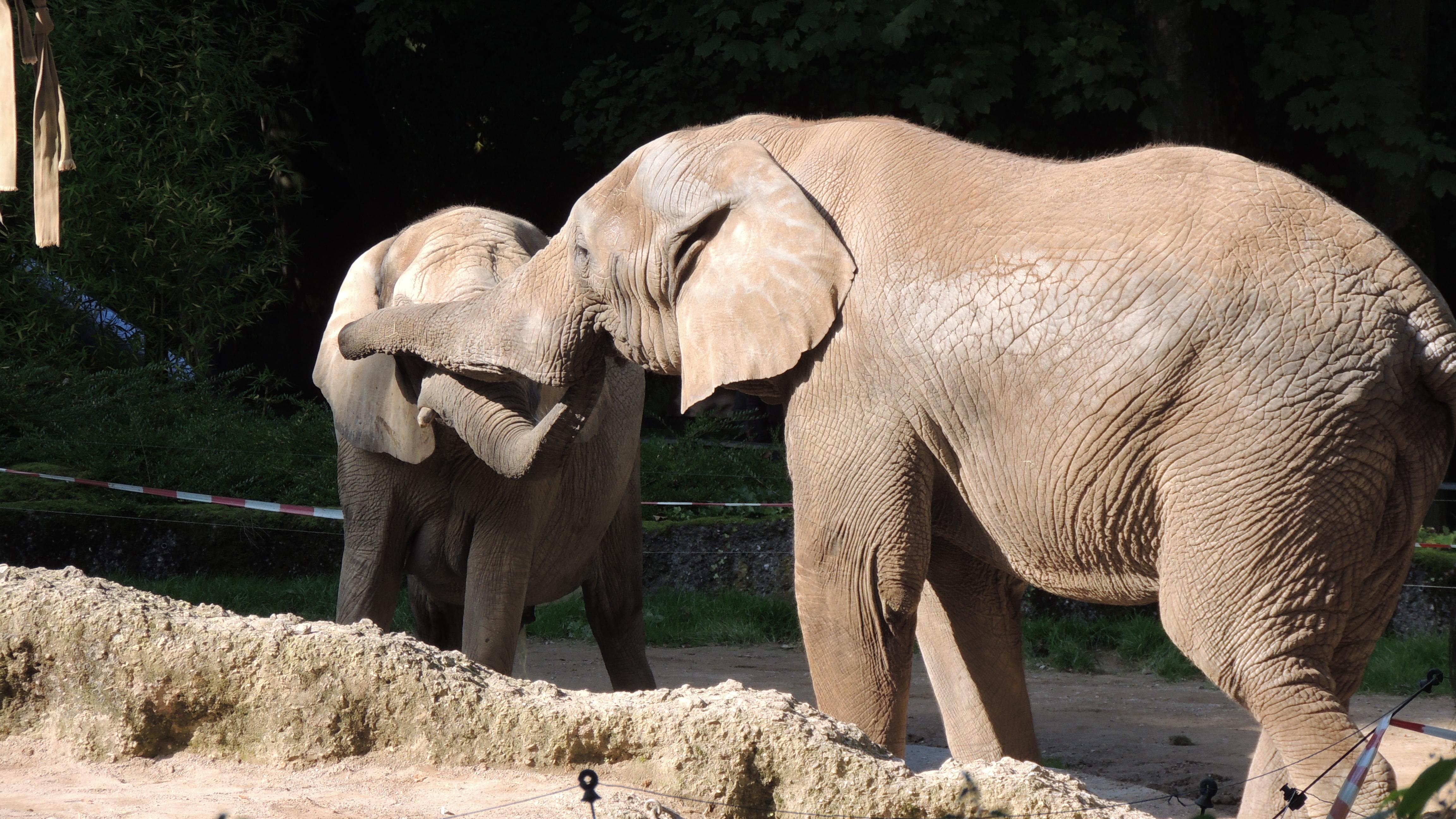 Gratis Fotos Von Afrikanischer Elefant